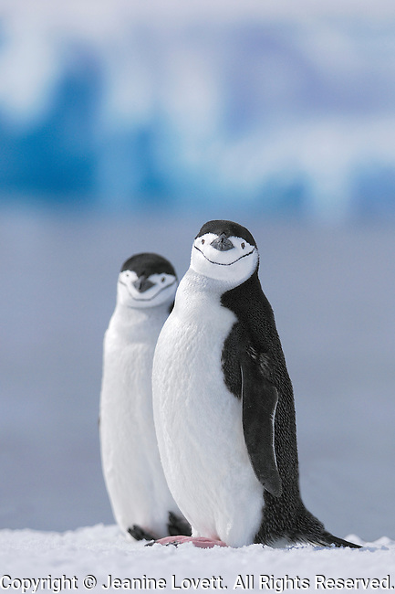 Two chinstrap penguins sit on snow with ocean and iceberg background.