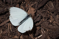 Great Southern White Ascia monuste butterflies are abundant along the roadside and in fields in southern Florida and other coastal southern states. The female will show shades of smokey gray in warm temperatures.  The average wingspan is 1 3/4 to 3 inches.