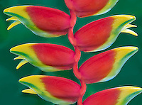 Hanging Lobster Claw, (Heliconia rostrata). St. John Virgin islads