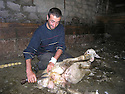 Armenia 2007  <br /> Sheep shearing in a Yezidi village during the summer season    <br /> Armenie 2007  <br /> Tonte de mouton dans un village yezidi pendant l'ete.