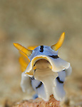 Elisabeths Chromodoris, Chromodoris elisabethina, Anilao, Batangas, Philippines, Amazing underwater Photography