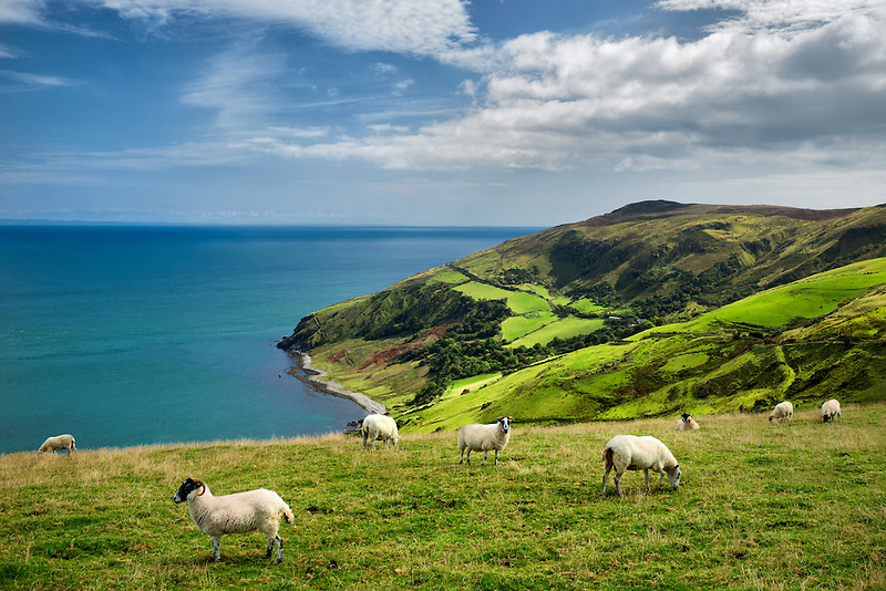 View from Torr Head with sheep grazing. Antrim Coast, Northern Ireland