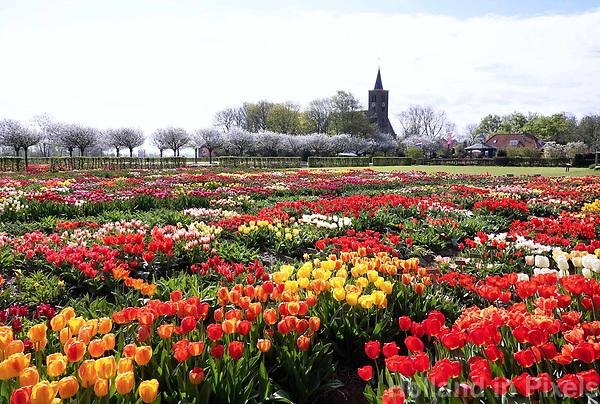 Nederland Limmen 2018. In Noord-Holland ligt de Hortus Bulborum. In de tuin staan meer dan 4000 soorten bloemen. De hortus, waarin voornamelijk tulpen staan, is in 1928 opgericht. De Hortus Bulborum is een proeftuin, waar nieuwe soorten worden gekweekt. Foto Berlinda van Dam / Hollandse Hoogte