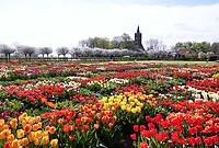 Nederland Limmen 2018.  Niet alleen in Keukenhof zijn bijzondere tulpen te zien. In Noord-Holland ligt de Hortus Bulborum. In de tuin staan meer dan 4000 soorten bloemen. De hortus, waarin voornamelijk tulpen staan, is in 1928 opgericht. De Hortus Bulborum is een proeftuin, waar nieuwe soorten worden gekweekt. Foto Berlinda van Dam / Hollandse Hoogte