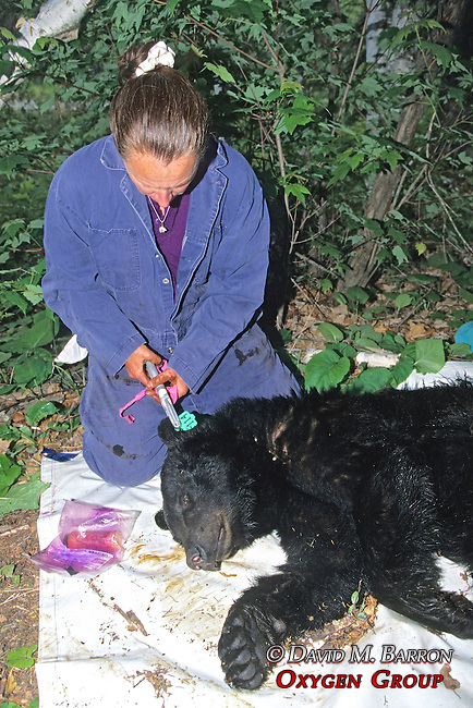 Kris Timmerman Working On Black Bear