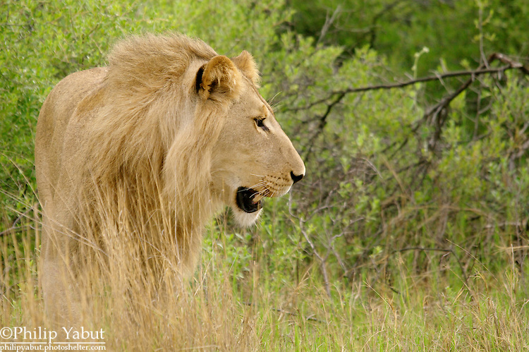 Lion (Pantera leo) at the Kwara Reserve, Okavango Delta, Botswana.