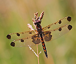 A beautiful female Calico Pennant dragonfly perched on a grass seedhead.