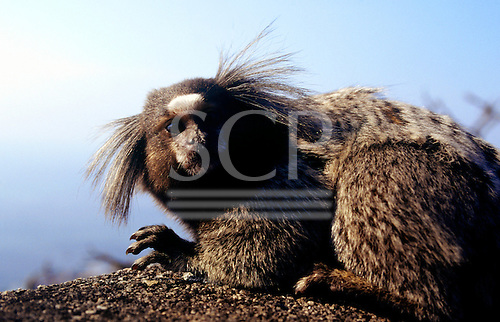 Rio de Janeiro, Brazil. Tufted-ear marmoset (callithrix sp.) with white patch on its forehead.