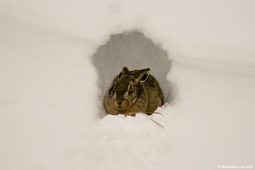 Haas zit beschut tegen de wind in sneeuwholletje in slootkant. Hare is sheltered from the wind snow hole in ditch