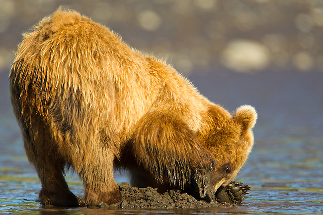A coastal Brown bear is seen here searching for razor clams on the tidal flats along Cook Inlet in Lake Clark National Park, Alaska.  Photo by Gus Curtis.