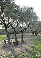 A simple bench is placed in the shade of a grove of ancient olive trees
