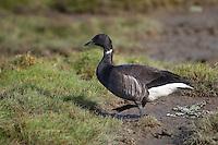 Ringelgans, Ringel-Gans, Ringelgänse, im Vorland an Nordseeküste, fressen auf Salzwiese, Gans, Branta bernicla, brent goose