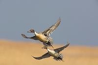 Northern Pintail Ducks, in flight, drake, Anas acuta, Edwin Forsythe National Wildlife Refuge, New Jersey