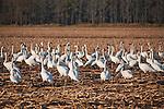 Tundra swans feeding, Pungo Unit