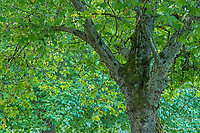 Sycamore Tree in summer