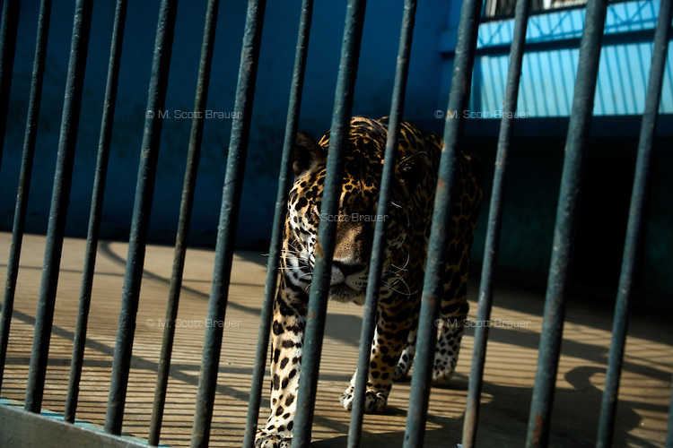 A cheetah paces in an outdoor cage in the Tianjin Zoo in Tianjin, China.