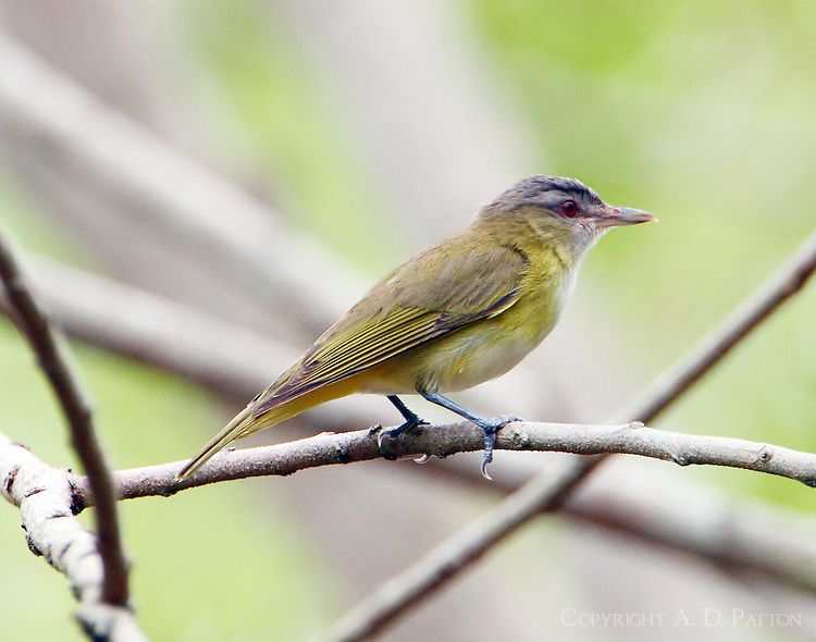 Yellow-green vireo adult