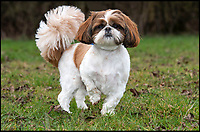 BNPS.co.uk (01202 558833)<br /> Pic: PhilYeomans/BNPS<br /> <br /> Bertie is unable to run around at the moment.<br /> <br /> Meet Bertie the bow-legged Shih-Tzu puppy...<br /> <br /> A rescue centre has launched a crowd funding page to raise the &pound;4,000 needed to help him run around again.<br /> <br /> One year old Bertie has been abandoned by his owners who couldn't afford the cost of his life changing operations, but Ardley rescue centre boss Annabelle Weir from Bicester in Oxfordshire is determined to give bow-legged Bertie a second chance.