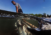 Salmon underwater as a fisherman pulls in his catch at his fish camp.