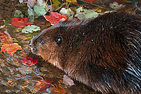 Beaver (Castor canadensis) and maple leaves at water's edge, autumn, Nova Scotia, Canada.