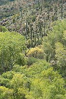 711900002 wild giant saguaro cacti carnegiea gigantea grow on a hillside above native deciduous trees along the creek at jewel of the creek conservation area maricopa county arizona