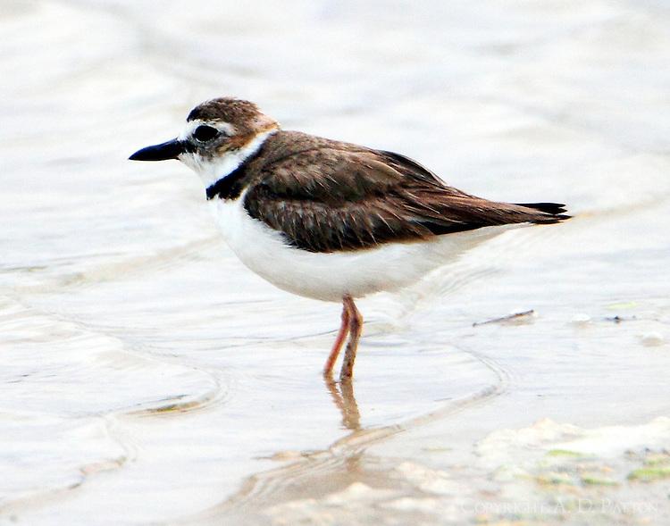 Wilson's plover in breeding plumage