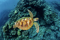 green sea turtle, Chelonia mydas, Rock Islands, Palau, Pacific Ocean