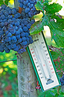 Ripe bunches of  Merlot grapes at Chateau la Grave Figeac, Saint Emilion, Bordeaux,  Old fashioned technology: a thermometer. can be useful to know how hot it has been in the vineyard - Chateau La Grave Figeac, Saint Emilion, Bordeaux