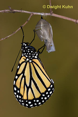 MO04-547z    Monarch emerging from chrysalis,  Danaus plexipuss