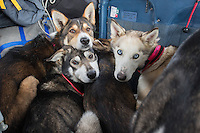 Several of DeeDee Jonrowe 's dog team are loaded into pilot Jerry Wortley 's plane for the ride out of Rohn after DeeDee scratched from the race.  Iditarod 2014  PHOTO BY JEFF SCHULTZ/IDITARODPHOTOS.COM  USE ONLY WITH PERMISSION