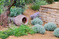 Dry garden plantings of herbs in gravel sandy soil Mediterranean style garden with stone wall, mounds of gray blue foliage santolina, chamomile and thyme in flower, ornamental urn