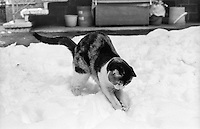 Gatto che gioca nella neve --- Cat playing in the snow