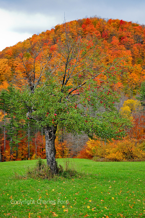 Apple tree in front of colorful New England autumn hillside.