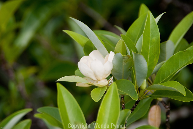The sweet bay magnolia produces small fragrant white flowers in the spring.