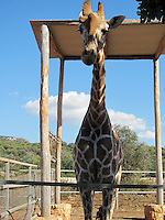 Giraffe peeking out from under a tall shade with beautiful sky seen behind.