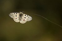 apollo adult, Parnassius apollo rhodopensis, Bulgaria