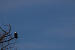 An eagle on watch at the edge of the forest, its a cold winter day.
