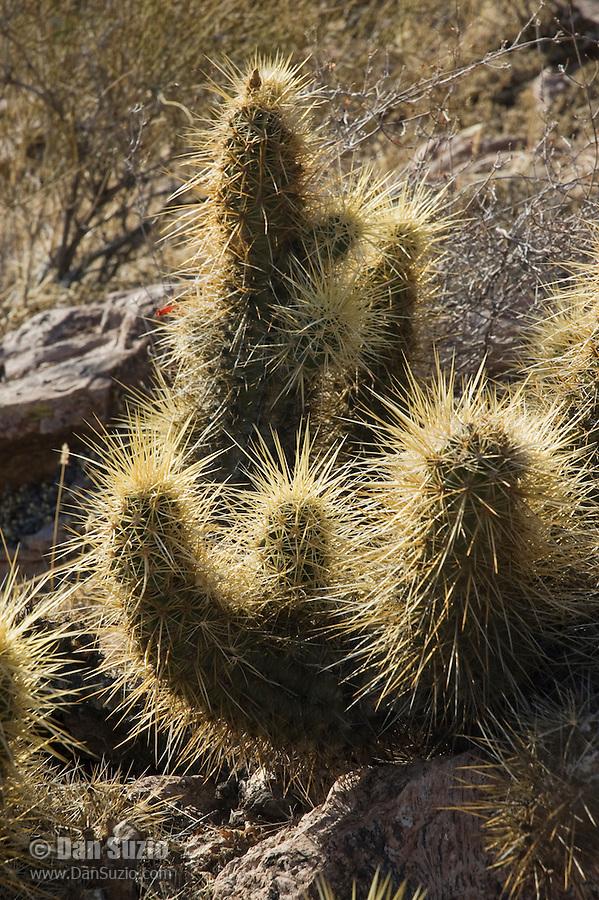 Hedgehog cactus, Echinocereus engelmannii, Organ Pipe Cactus National Monument, Arizona.