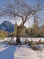 Broken Oak, Yosemite