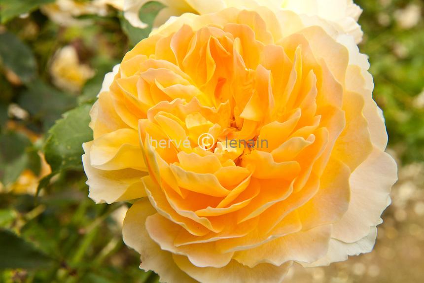 Rose 'Molineux' , Rosa 'Molineux'.(David Austin 1994)