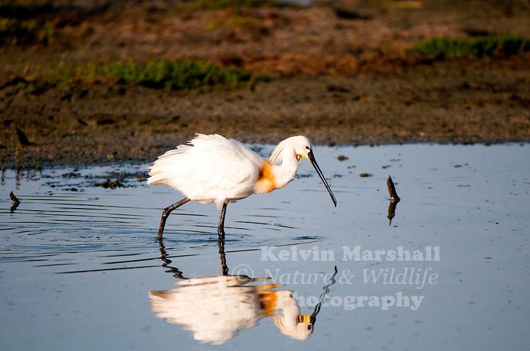 The Eurasian spoonbill or common spoonbill (Platalea leucorodia) is a wading bird of the ibis and spoonbill family Threskiornithidae. Bundala National Park - Sri Lanka.