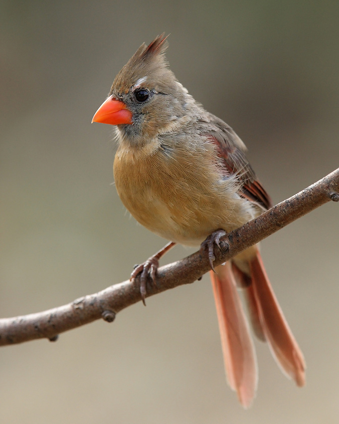 Northern Cardinal female.