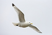 Black-legged kittiwake (Rissa tridactyla) In Flight, and a tricky one to catch close up just due to thier speed and agility especially during spring, as nesting and feeding demands the best flight skills.