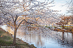 Cherry blossoms on the Charles River Esplanade, Boston, Massachusetts, USA