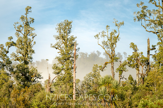 Kahikatea trees in morning light, Westland Tai Poutini National Park, UNESCO World Heritage Area, West Coast, New Zealand, NZ