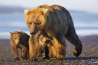 Lady Hook and cubs leave the river for the day. Kodiak grizzly bear (Ursus arctos middendorffi), Hallo Bay