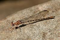 338570007 a wild female sooty dancer damselfly argia lugens perches on a rock on piru creek los angeles county california