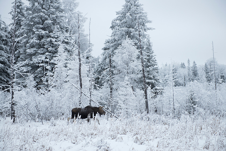 Moose in the boreal forest, hoar frost covered trees,<br />