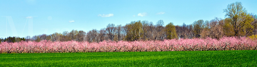 Orchard of peach trees in blossom.