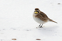 A horned lark forages in a wheat field in Liberty County, Montana.
